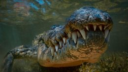 Large Crocodile Underwater