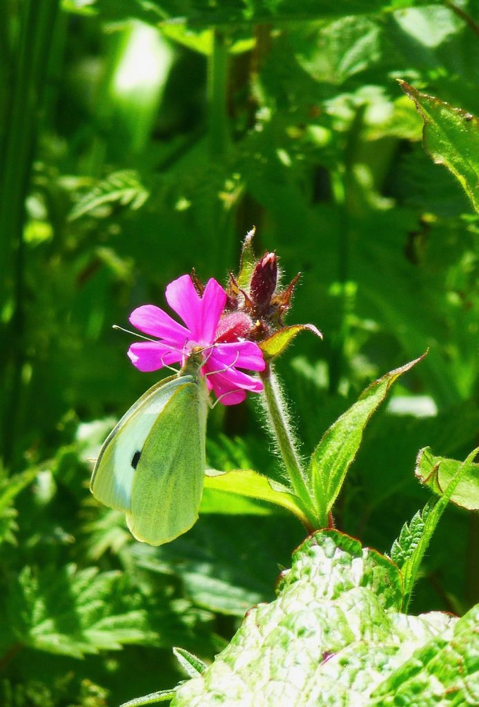 Large White Feeding on Red Campion