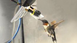 Larger Hummingbirds Show Better Mechanochemical Efficiency