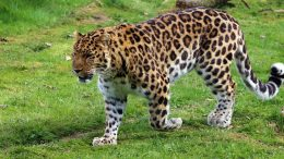 Leopard China