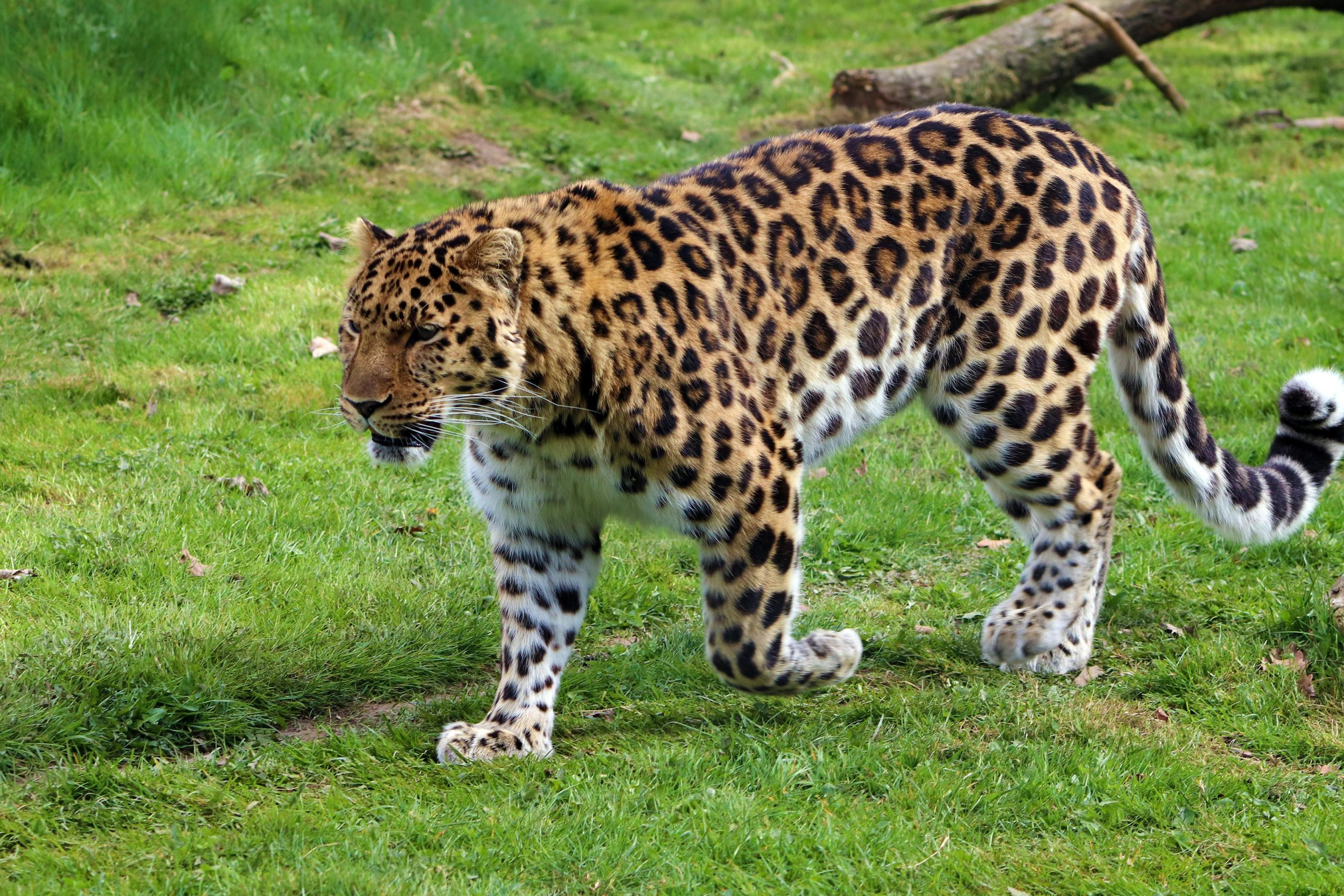 Researchers Surprised To Find Number Of Leopards In Northern China On The Rise