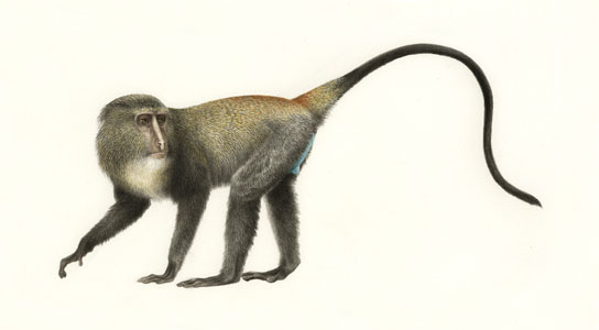 Lesula, a new species of monkey
