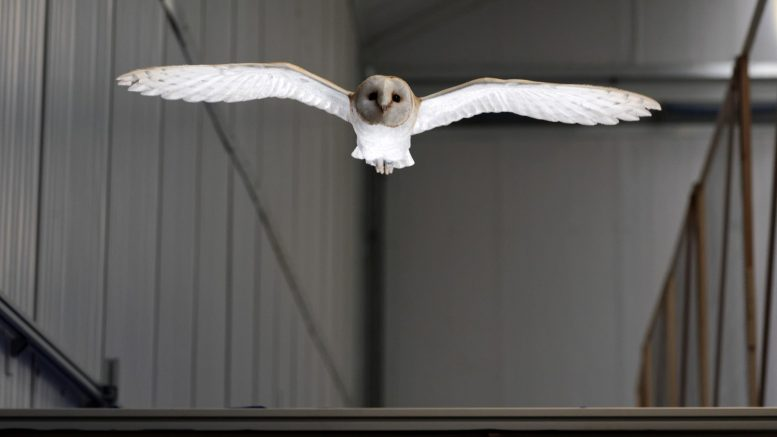 Lily Barn Owl Flight