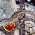 Lizard Study Shows Trade is a Force in Biodiversity
