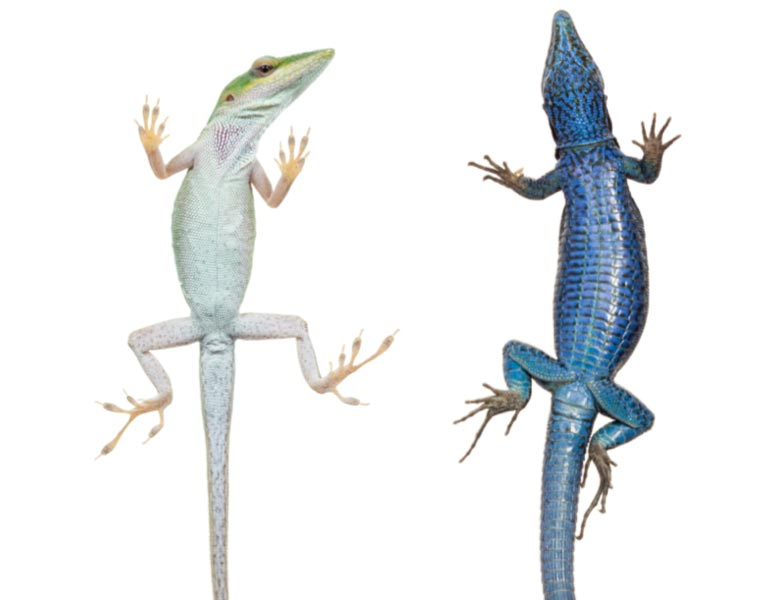 Lizards With Sticky Toepads