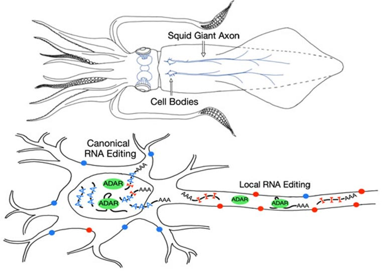 Local RNA Editing in Squid Giant Axon
