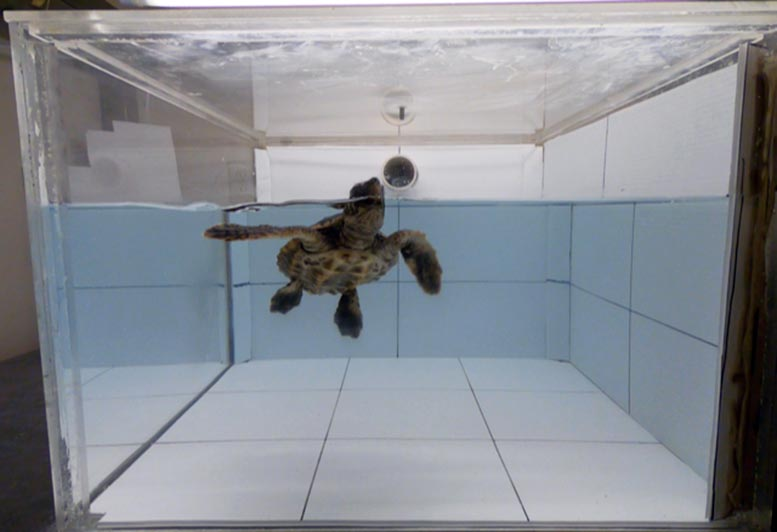 Loggerhead Turtle Sniffing Air