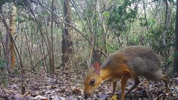 Lost Silver-backed Chevrotain