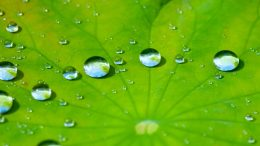 Lotus Leaf Water Drops