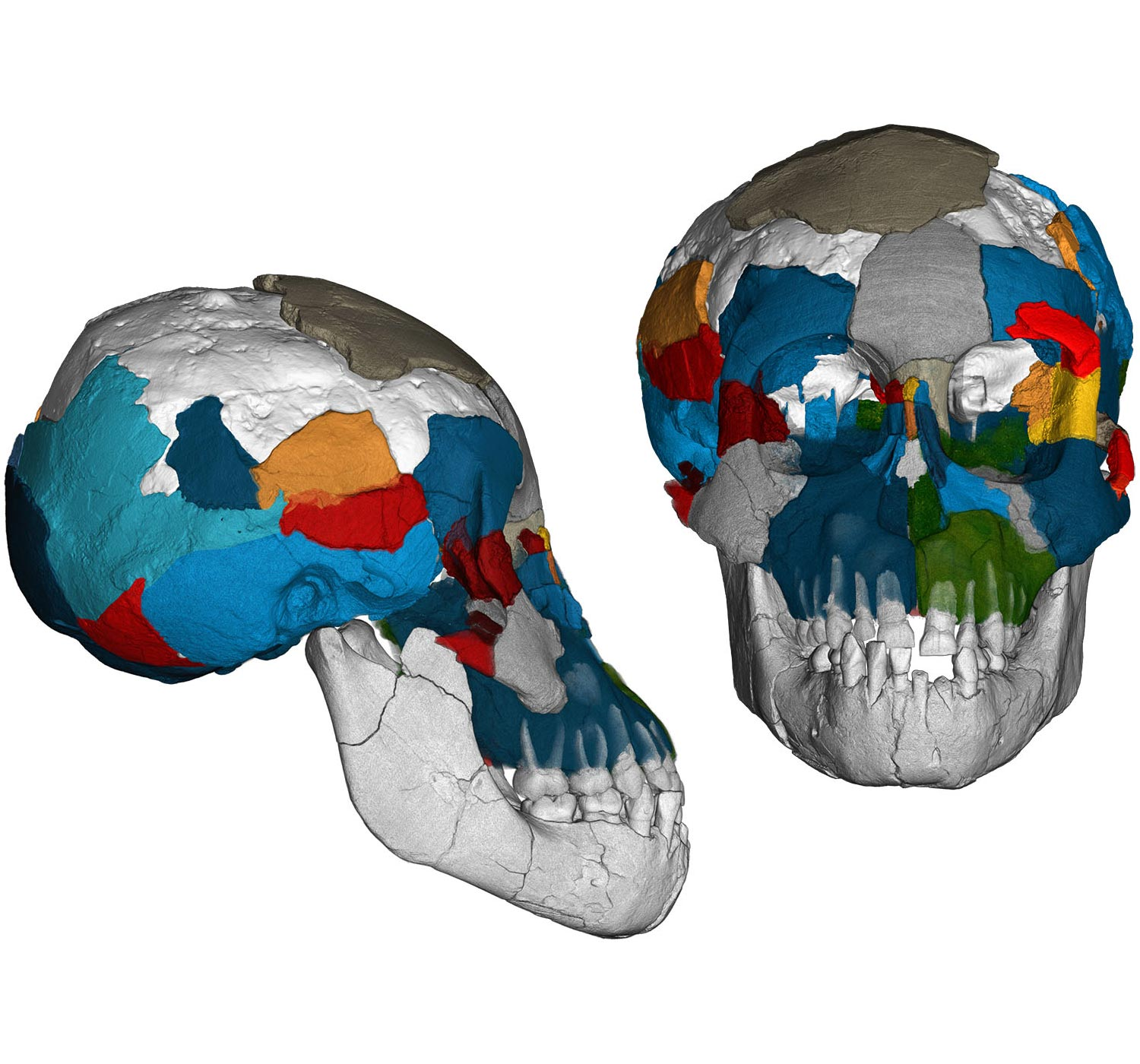 Evolutionary Secrets of Fossil Brains Revealed: �Lucy� Had Ape-Like Brain, but Longer Childhood Like Humans - SciTechDaily
