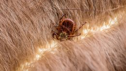 Lyme Disease Infected Tick