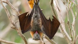 MIT Engineers Reveal How Hairy Tongues Help Bats Drink