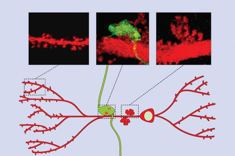 MIT Neuroscientists Discover a Cellular Pathway That Encodes Memories