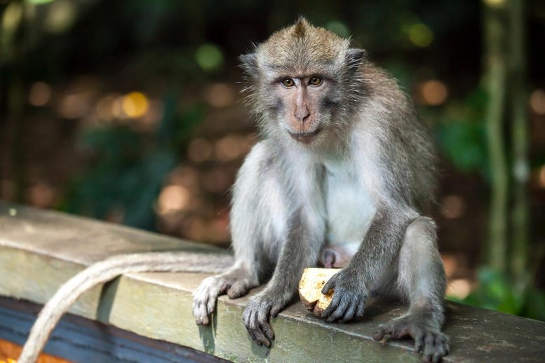 Macaque Monkey Alone