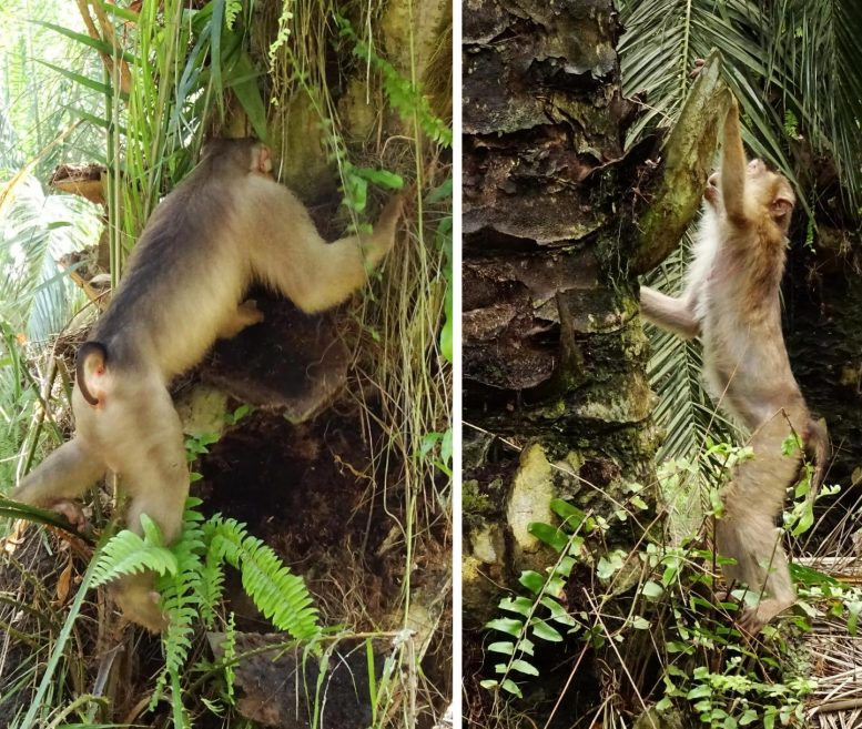Macaques Foraging for Rats