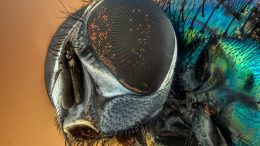 Macro Fly Compound Eyes