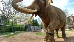 Male Asian Elephant Wearing Activity Tracker