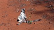 Male Lemur