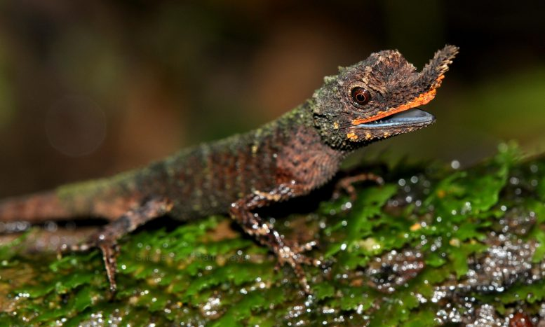 Male Rough Nosed Horned Lizard