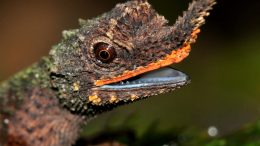 Male Rough Nosed Horned Lizard Crop