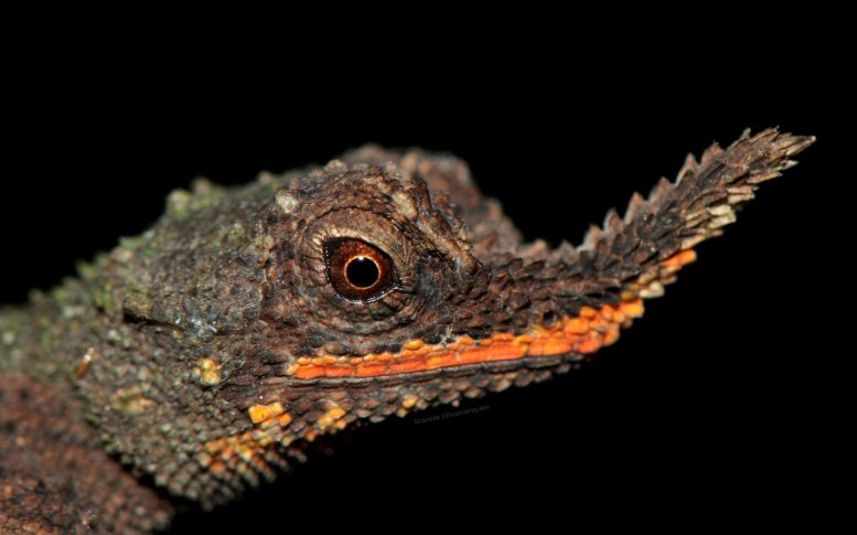Male Rough Nosed Horned Lizard Face