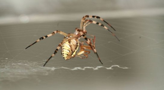 Male Spiders Sacrifice Themselves To Mates For The Kids