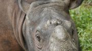 Male Sumatran Rhinoceros From Borneo