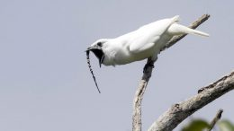 Male White Bellbird