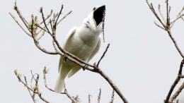 Male White Bellbird Screaming Mating Call