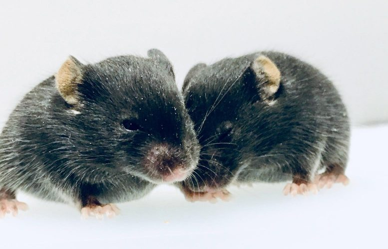 Male and Female Mouse