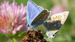 Male and Female Polyommatus icarus Mating