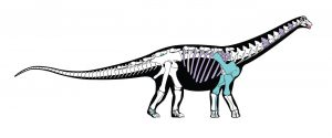 Mansourasaurus Skeletal Reconstruction