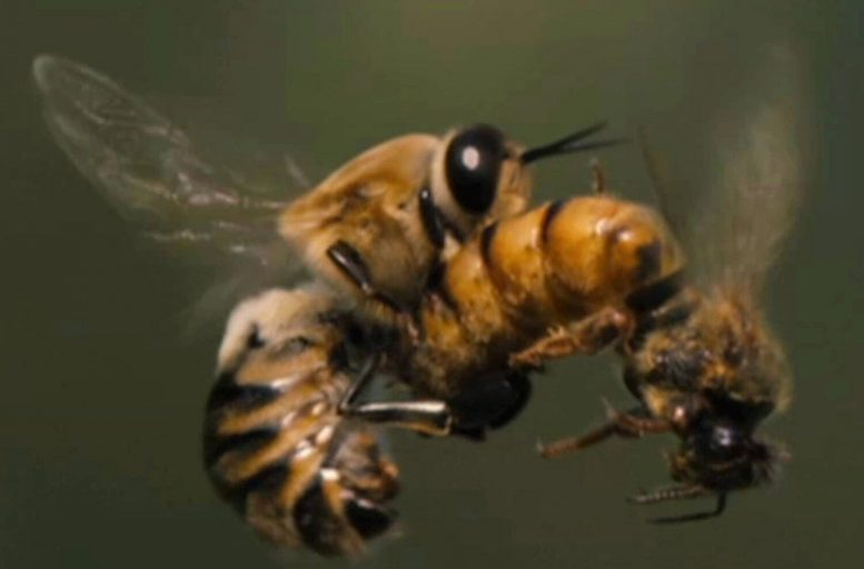 Mating Honeybees
