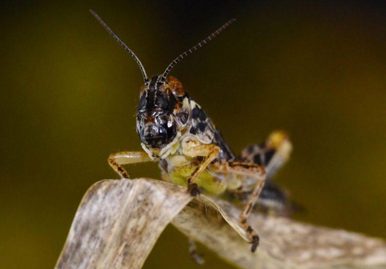Melonaplus Grasshopper