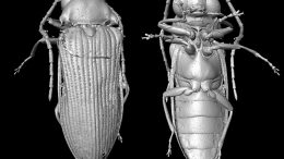 Micro-CT Reconstruction of Mysteriomorphus pelevini