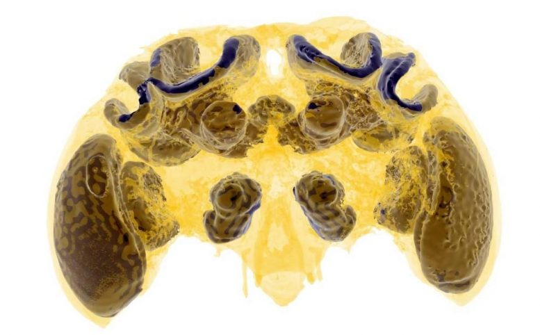 Micro CT Scan Bumblebee Brain