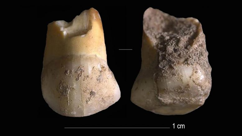 Milk-Tooth Found in the Vicinity of Riparo Del Broion, Veneto, Italy