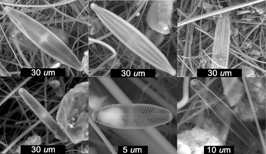 Millennium Old Diatoms Discovered