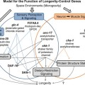 Model for the action of longevity-control genes whose expressions are suppressed by spaceflight