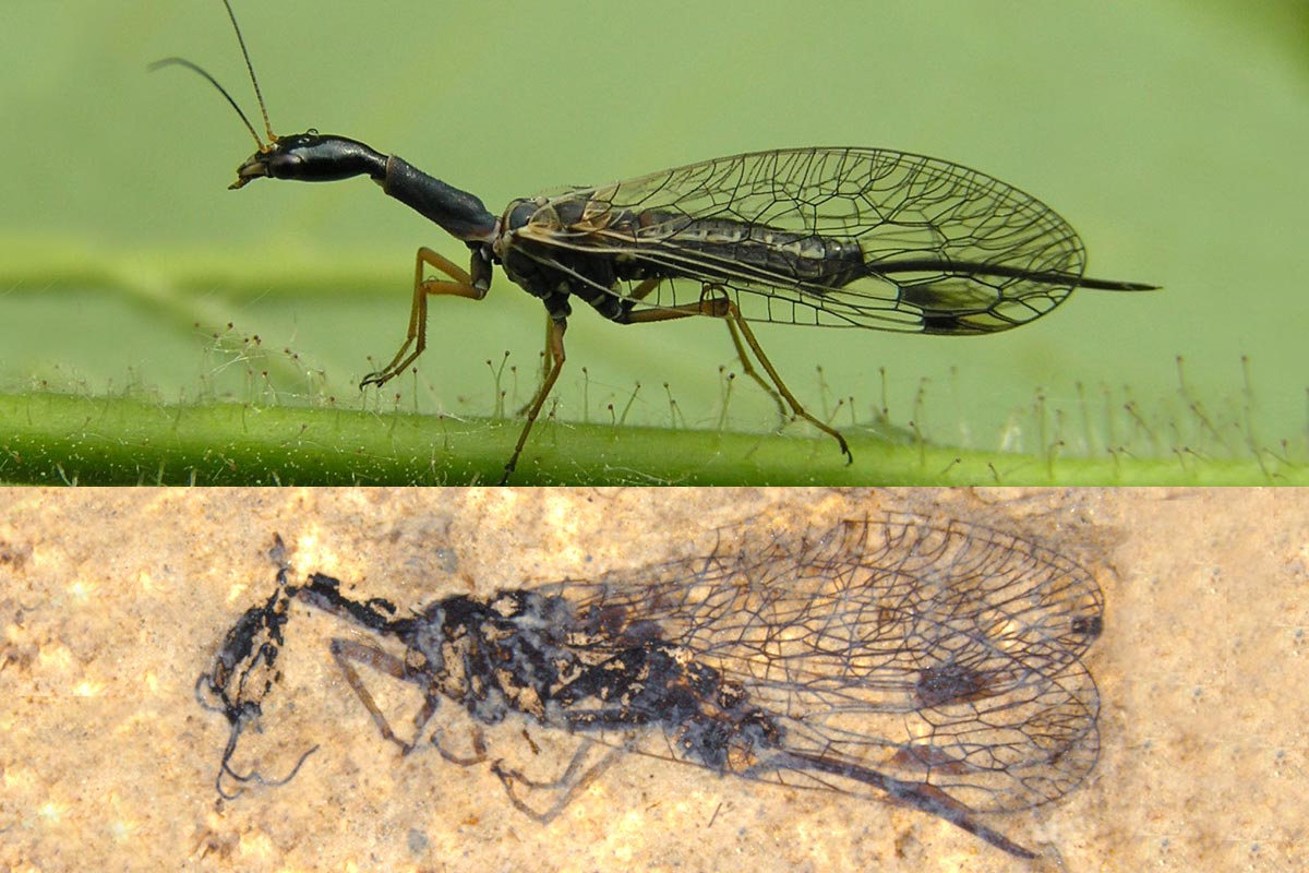 Snakefly Mystery Deepens After Surprising Fossil Discovery