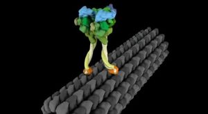 Molecular Motor Dynein Exhibts Strut Like Movement