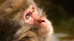 Monkeys and Humans Share Same Signs of Alzheimer's