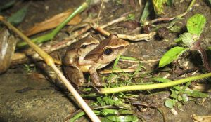 More Amphibian Species at Risk of Extinction
