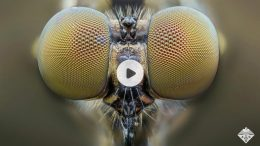 Mosquito Eye Inspires Artificial Compound Lens
