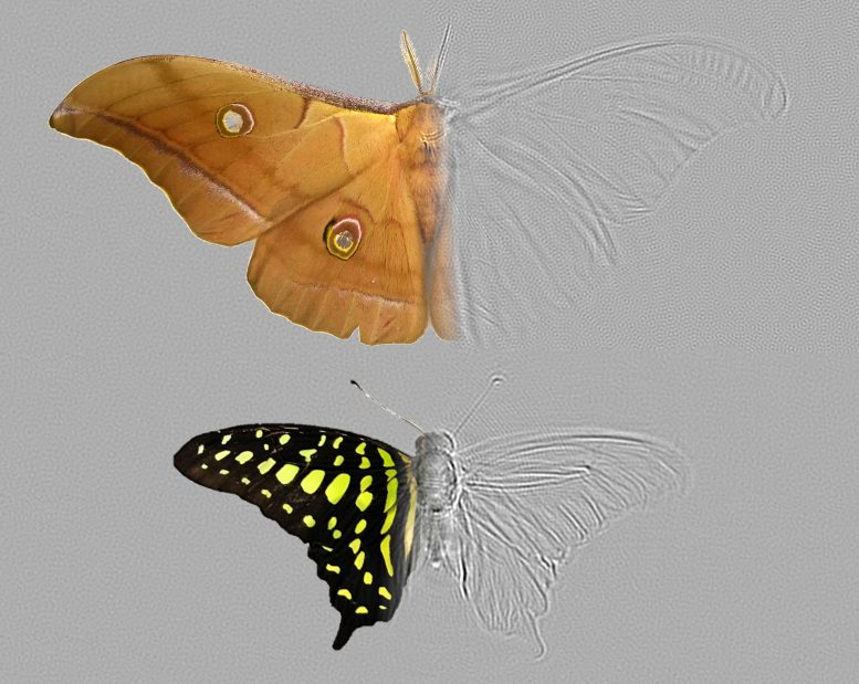 Moth Antheraea pernyi and Butterfly Graphium agamemnon