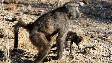 Primate Mothers Sometimes Carry Their Dead Babies With Them for Months – Here's Why