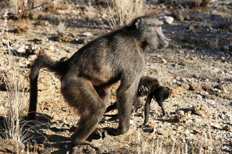 Mother Primate With Dead Infant
