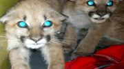 Mountain Lion Cubs Rescued in California