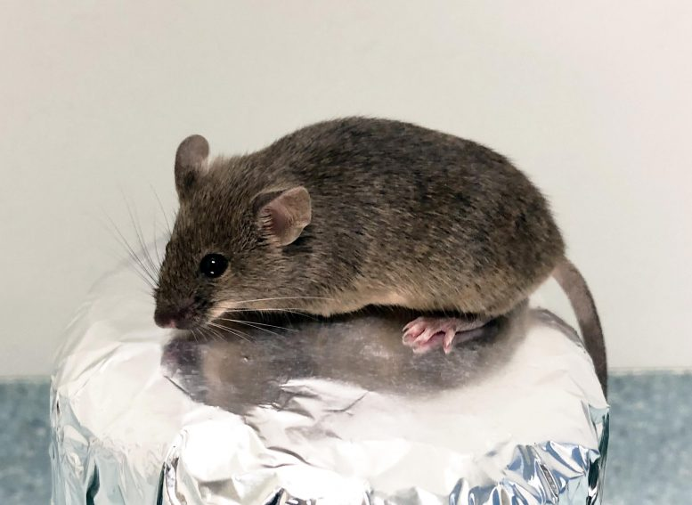 Mouse Born From Granulosa Derived Egg