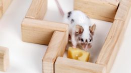 Mouse Cheese Maze